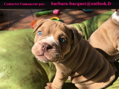 Chiots Bulldog Anglais A Donner De Suite Animaux Paris